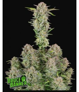 Fast Buds Bruce Banner Auto