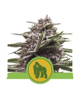 Royal Queen Seeds Royal...