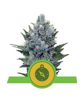 Royal Queen Seeds Northern...