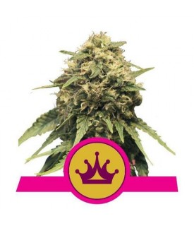 Royal Queen Seeds Special...