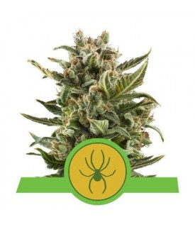 Royal Queen Seeds White...